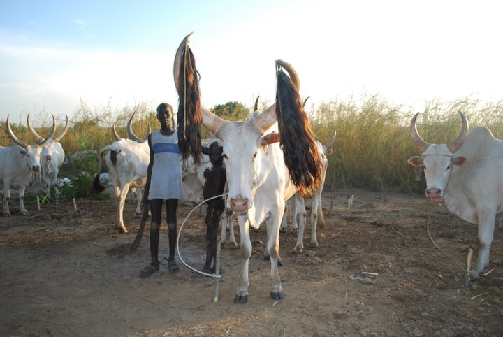 Cattle Could Be Used For Dowries In Child Marriage In South Sudan